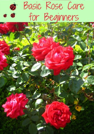 Basic Rose Care For Beginners How To Care For Roses Moms Need