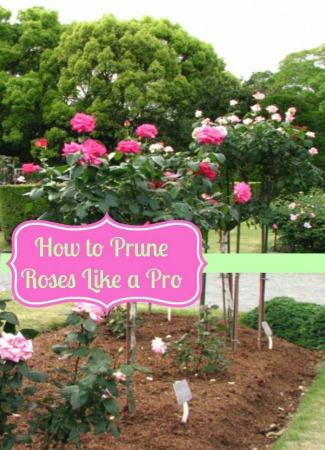 Best Way To Prune Roses | How To Prune Roses Like a Pro
