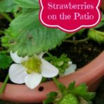 How To Grow Strawberries on the Patio