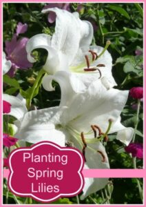 Tips For Planting Spring Lillies