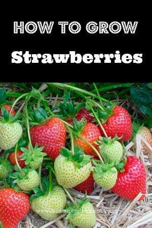 Learn How To Grow Strawberries