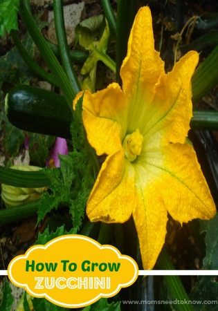 Learn How To Grow Zucchini