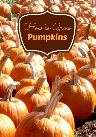 Learn How To Grow Pumpkins