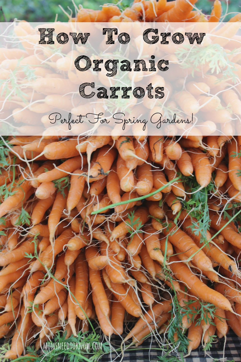 How To Grow Organic Carrots in Your Spring Garden