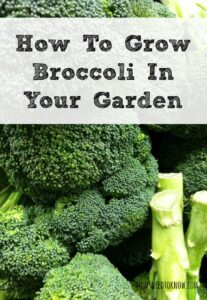 Broccoli can still be planted!  Learn how!