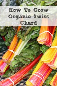 How To Grow Organic Swiss Chard In Your Garden