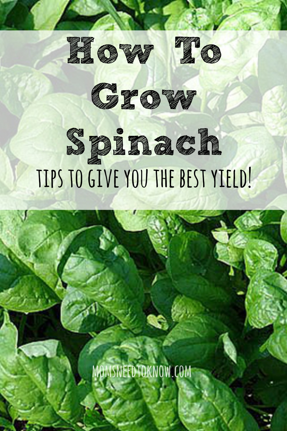 How To Grow Spinach Get The Best Yield