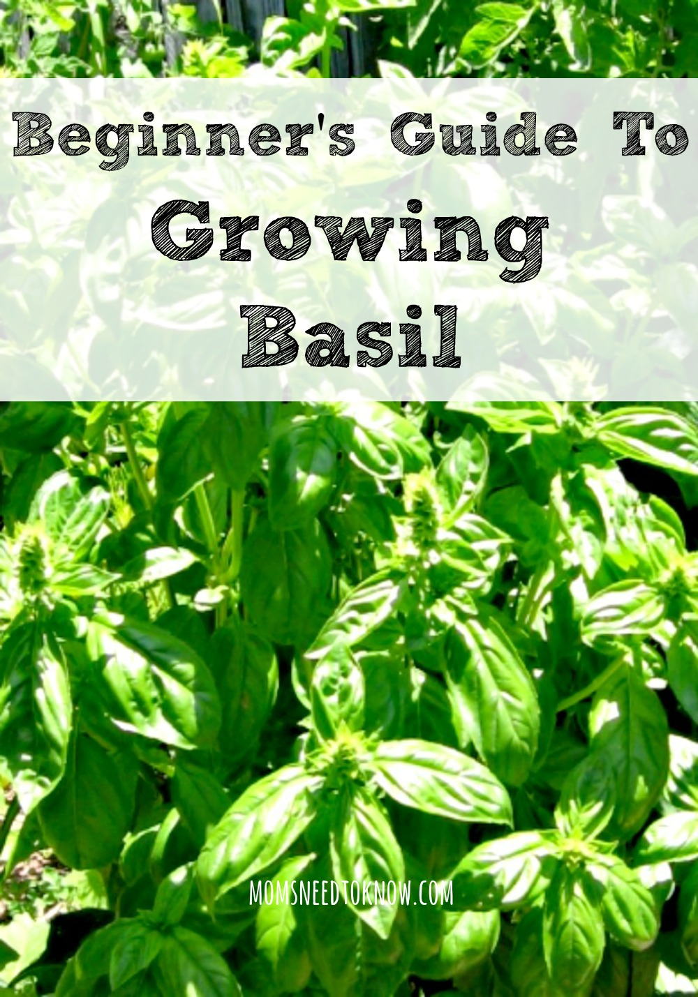 Beginner's Guide To Growing Basil