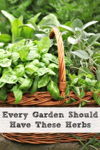 Every Garden Should Have These Herbs!