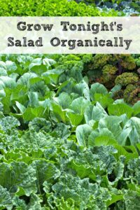 Grow Your Own Organic Salad For Dinner Tonight!