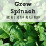 Spinach is one of the easiest plants to grow and you can save so much money by doing it. Here are some tip on how to grow spinach.